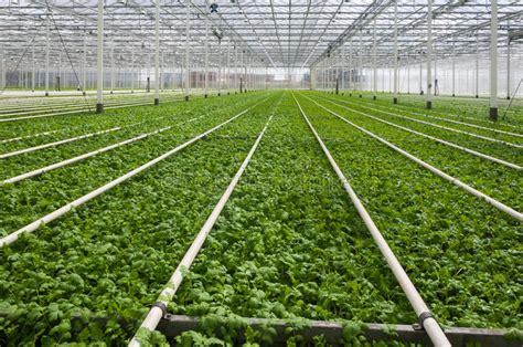 modern dutch greenhouse complex  small plants stock