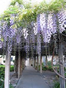 Best Climbing Vines For Pergolas by Wisteria Vine Related Keywords Amp Suggestions Wisteria