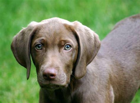 weimaraner lab puppies chocolate lab and weimaraner mix beautiful my welpen