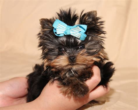 how does a teacup yorkie live contact me yorkies by design llc