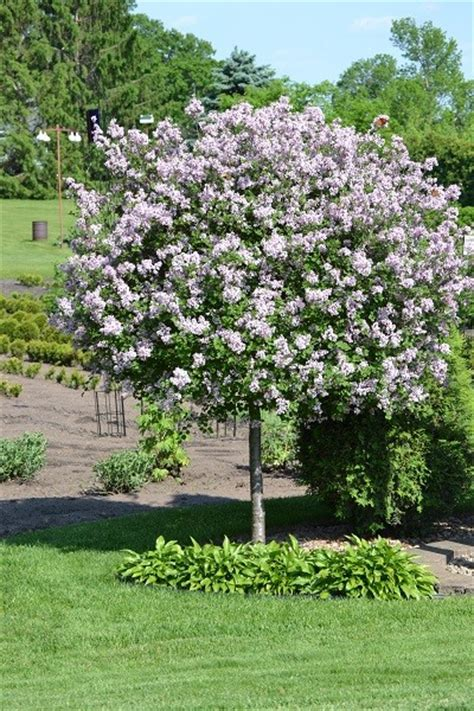 Small Decorative Trees by Decorative Small Trees For Landscaping