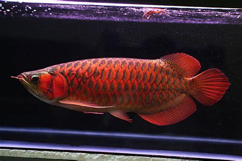 Benih Ikan Arwana cara usaha budidaya ikan arwana