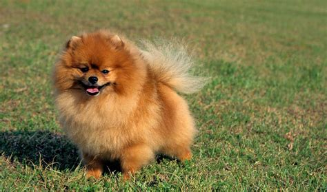 breed of pomeranian pomeranian breed information