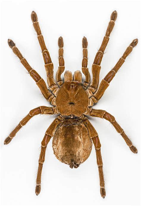 spider images goliath birdeater