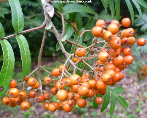 sorbus pohuashanensis tree seeds amur mountain ash