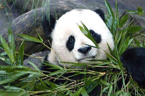 imagenes de animales en extincion animales en peligros de extinci 243 n diario animales