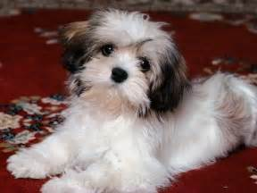 all small dogs images havanese hd wallpaper and background