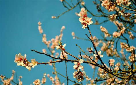 peach flowers spring mac wallpaper  allmacwallpaper