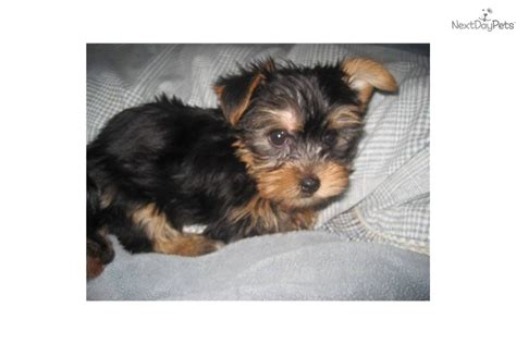 6 lb yorkie terrier yorkie puppy for sale near san diego california 5ee33e1b 1e01