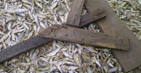Tepung Ikan Pakan Ternak cara membuat tepung ikan untuk pakan ternak yang benar