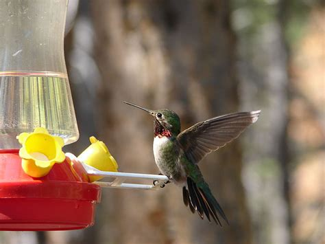 bird myths hummingbirds migrate on the backs of geese