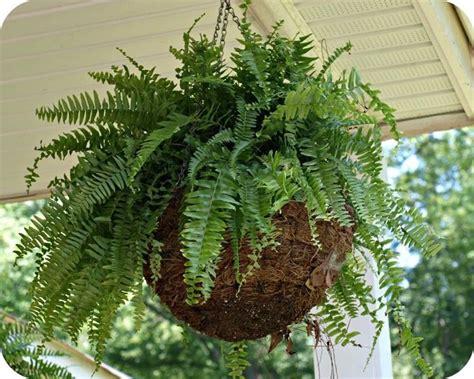 felce da appartamento felce piante appartamento come coltivare la felce