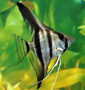 Silver Zebra Angelfish (Pterophyllum scalare)   Tropical Fish Keeping