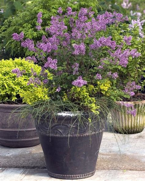 miniature flowering shrubs bloomerang lilac lilac i need this so my