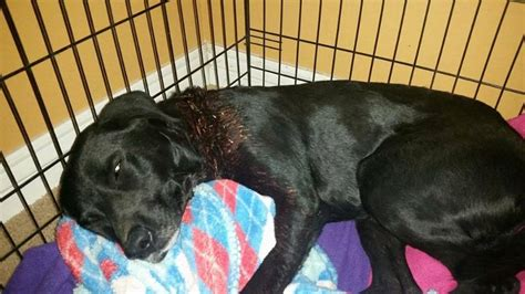 small rescue az rescues and fosters gunshot injured