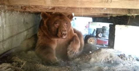 bear in house this guy just found out a massive black bear is under his house indy100