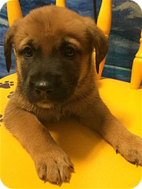 adopt a puppy orlando golden retriever rescue orlando fl rachael edwards