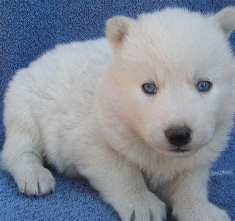 white siberian husky puppies for sale white siberian husky puppies for sale pets for sale in the uk