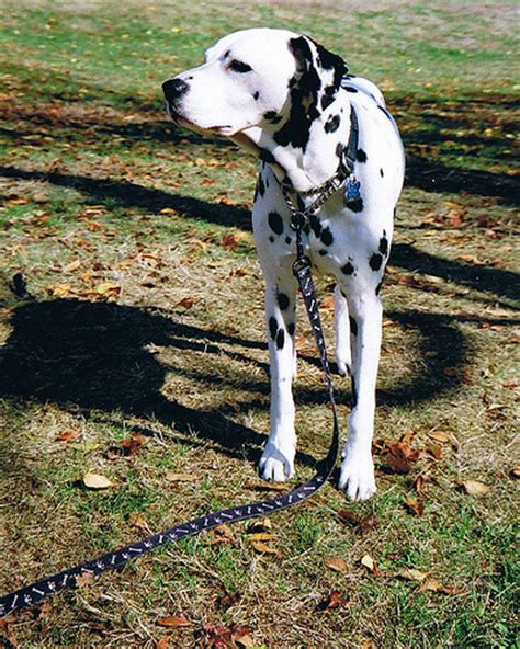 dalmatian puppy cost how much do dalmatian puppies cost howmuchisit org
