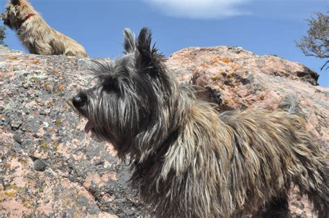 cairn terrier summer haircut cairn terrier summer cut newhairstylesformen2014 com