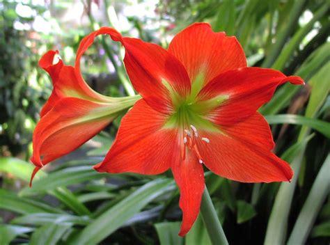 flower homes amaryllis flowers