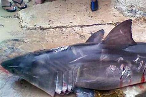 Baby Shark Metal | great white shark beaten to death by metal pole in