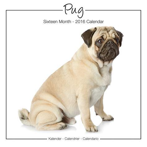 pug puppies price range pug studio range wall calendar 2016