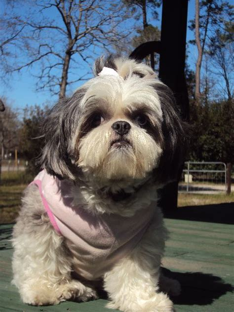 when do shih tzu puppies lose their baby teeth 25 best ideas about baby shih tzu on baby dogs cavapoo dogs and