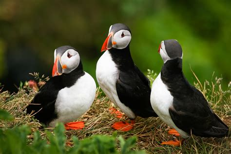atlantic puffin fratercula arctica pgcps mess