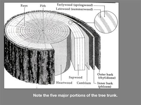 wood anatomy