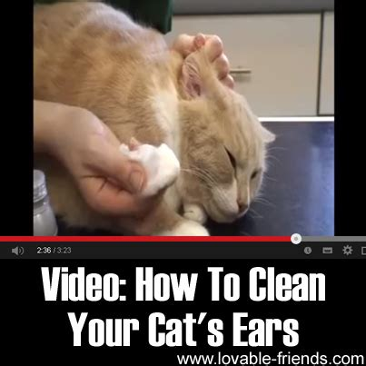 how to clean your s ears how to clean your cat s ears lovable friends