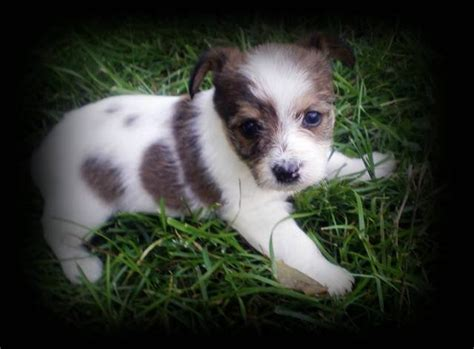 chihuahua yorkie puppies for sale small mixed breed dogs