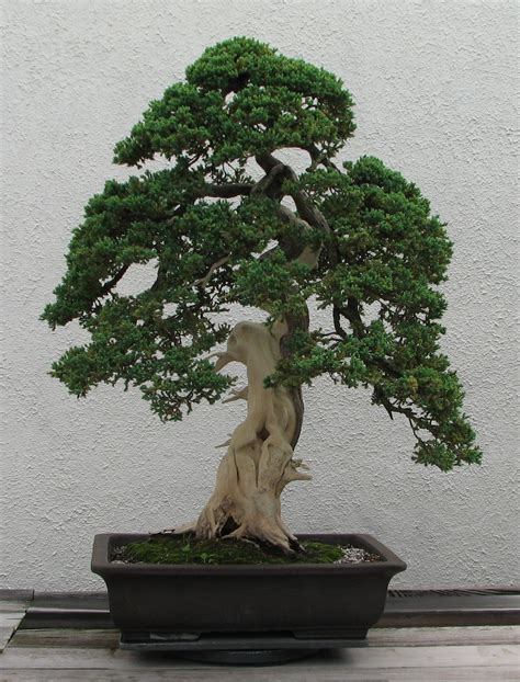 bonsai tree file dwarf japanese juniper 1975 2007 jpg wikimedia commons