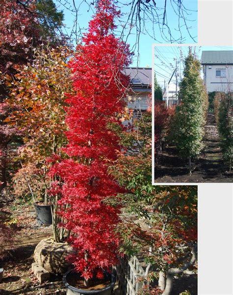 85 best narrow columnar trees shrubs images on pinterest columnar trees landscaping ideas
