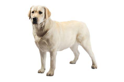 dog house dimensions for labradors labrador retriever not in the dog housenot in the dog house