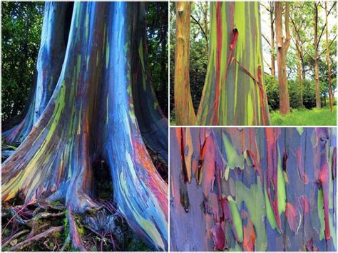 rainbow trees the beautiful rainbow eucalyptus it is what it is