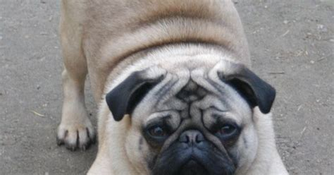 pug breed standard pug breed standard general appearance symmetry and general pugs