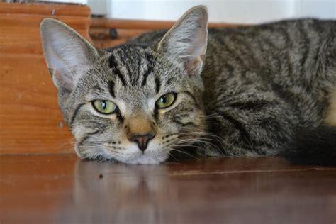 divano gatto divano per chi ha gatti gatti in sovrappeso come