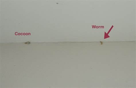 Pantry Moth Worms by Pantry Moth Strosity Planning Poor