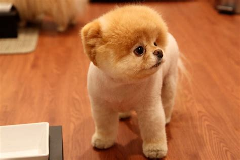 cutest puppy in the world boo aibob boo the of the world s cutest photo book m5x eu