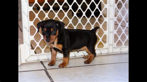miniature pinscher puppies dogs  sale  raleigh