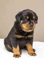 husky rottweiler mix for sale rottweiler husky mix shop for your cause
