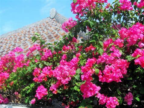 bouganville fiore come coltivare il fiore ricante boungaville garden4us
