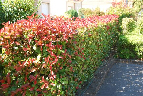 Photinia Hecke Robin by Photinia Glanzmispel Robin