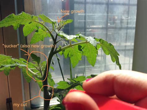 Make Plant - how to create near infinite clones of your favorite tomato