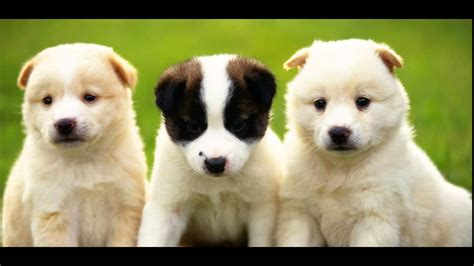 pet r dogs for sale