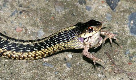 Garter Snake Eat Garter Snake A Frog Project Noah