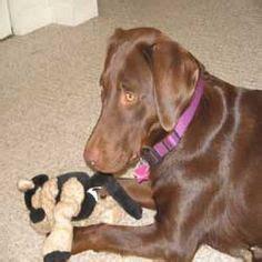 weimaraner lab mix puppies weimaraner chocolate lab mix my weimaraner weimaraner