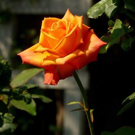 gambar bunga mawar ungu merah mawar putih beserta