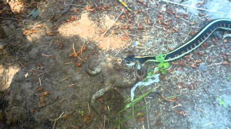 Garter Snake Frog Garter Snake A Frog